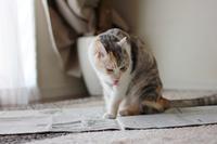 新聞紙に乗るねこ。 - Living with Cats*