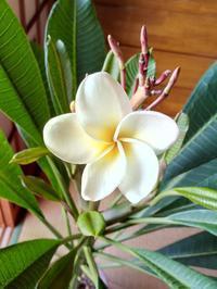 プルメリア咲いたよ〜♪秋に・・・(笑) - Aloha Kayo-s Style