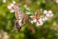 アゲハチョウ(松山総合公園) - かたくち鰯の写真日記2