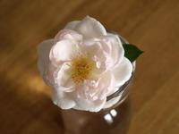 ローズ ドゥ グランヴィル 我がベランダ 初開花。 - 野だてnote