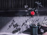 紅い花咲いてた - 1/365 - WEBにしきんBlog