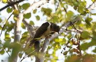 ツツドリを撮りに(2回目) - 私の鳥撮り散歩