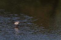 再び…【ツルシギ・オグロシギ・オオハシシギ】 - 鳥観日和