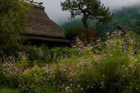 コスモス~美山かやぶきの里 - 鏡花水月