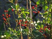 色とりどり木の実・草の実 - じょんのび