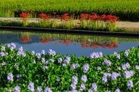 本薬師寺跡の彼岸花とホテイアオイ - 花景色-K.W.C. PhotoBlog