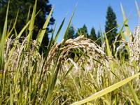 米作りへの挑戦!稲刈りの様子!手刈り&掛け干しなんです!その1 - FLCパートナーズストア