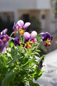 ビオラの季節到来 - 小さな庭 2
