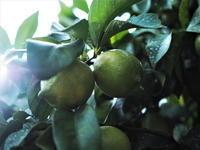 #48 島のレモン - チッキィのおいしい淡路島