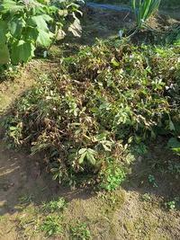 祝!人生初めての落花生の収穫 - あいやばばライフ