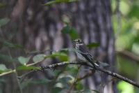 エゾビタキキビタキクロツグミ - 鳥さんと遊ぼう