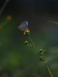 ヤクシマルリシジミ - 自然を楽しむ