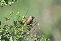 河原のカワラヒワさん - ベジタブルpartⅤ(鳥と共に日々是好日)