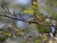 山麓のミズキの実と鳥たち(エゾビタキ/クロツグミ) - トドの野鳥日記