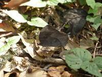 クロコノマチョウ雑木林でひっそりと - 蝶のいる風景blog