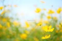 Yellow  Cosmos - 流れのほとり