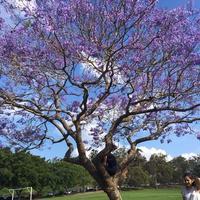 世界三代花木「ジャカランダ」 - その日・その日