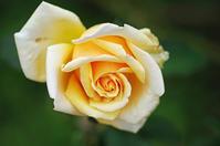 花菜ガーデン薔薇その他の花たち - 生きる。撮る。