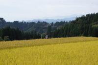 最後の稲刈り - あまねの山女