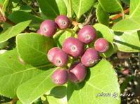 マルバシャリンバイの果実が色づいてきました。 - デジカメ散歩悠々