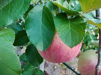 りんご便り~♪ - おはけねこ