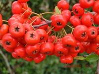 赤い実、青い実の秋 - 家の周りの季節感