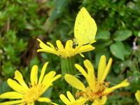 黄色のツワブキに黄色の蝶 - 家の周りの季節感