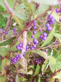紫式部の果実 - 家の周りの季節感