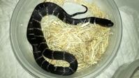 Yuma King SnakeNo.2 female #1 - 自由なB型でごめんなさい