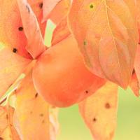 橙色に染まる柿の葉 - 「 ボ ♪ ボ ♪ 僕らは釣れない中年団 ♪ 」