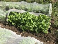 秋野菜の成長ぶり - 家庭菜園ニストabuさん家の美味あれこれ