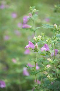 コシオガマ - オバサンが行く ヒマラヤの青いけしの旅/改め   時々蔵王の花たち