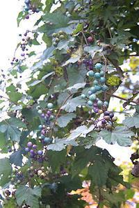 ノブドウ - オバサンが行く ヒマラヤの青いけしの旅/改め   時々蔵王の花たち