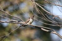 ツツドリ - 私の鳥撮り散歩