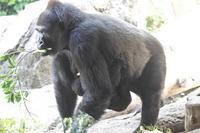 5月のゴリラ一家~リキのおんぶ事情 - 続々・動物園ありマス。