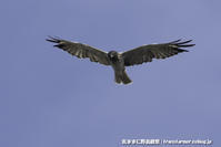 ズグロ飛ぶ-2 - 気ままに野鳥観察