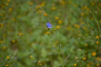 ヤクシマルリシジミ10月24日 - 超蝶