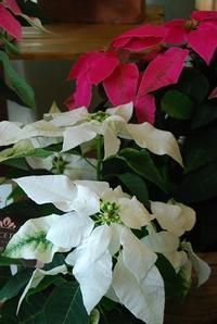 プリンセチア入荷しました - 花と暮らす店 木花 Mocca