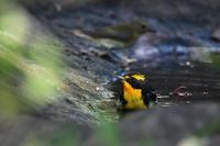 家族風呂キビタキソウシチョウ - 鳥さんと遊ぼう
