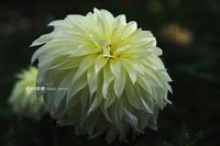 ホワイトダリア - 花々の記憶    happy_momo