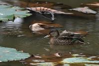コガモさんペア - ベジタブルpartⅤ(鳥と共に日々是好日)