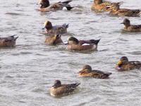 長都沼の鴨たち - 今日の鳥さんⅡ