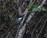 なかなか姿を見せないアカゲラ - ぶらり探鳥