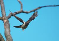 ツツドリ4 - 今日も鳥撮り