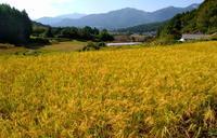 もうすぐ稲刈り - 農と自然のさんぽみち・やまだ農園日記