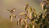 モズ - 北の野鳥たち