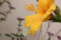 モンシロチョウハイビスカスでお休み - 蝶のいる風景blog