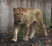 若き獅子 - 気まぐれZOOⅡ