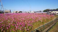 福岡市西区周舟寺のコスモス - 信仙のブログ
