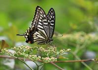 秋のアゲハ(ナミアゲハ) - 公園昆虫記